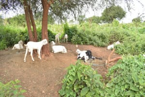 The Water Project: Thona Community -  Livestock