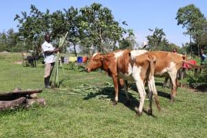 The Water Project: Bung'onye Community, Shilangu Spring -  Feeding His Livestock
