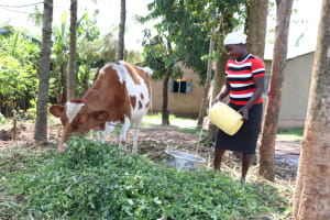 The Water Project: Buyangu Community, Osundwa Spring -  Pouring Water For The Cow To Drink