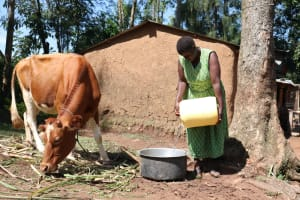 The Water Project: Shitoto Community, Abraham Spring -  Pouring Spring Water For The Cattle