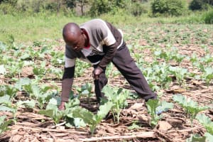 The Water Project: Ematetie Community, Chibusia Spring -  Picking Kale From His Farm