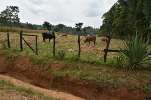 The Water Project: Malekha Central Community, Misiko Spring -  Grazing Farm