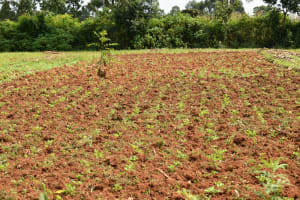 The Water Project: Malekha Central Community, Misiko Spring -  Groundnut Farm