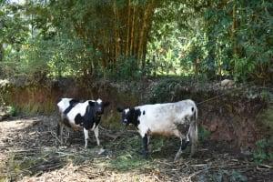 The Water Project: Shamoni Community, Shatuma Spring -  Animals Grazing