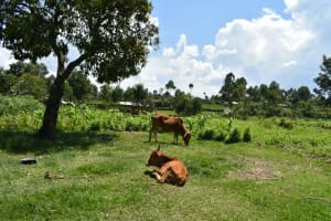 The Water Project: Shianda Community, Akhonya Spring -  Animals Grazing
