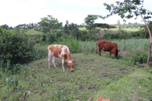 The Water Project: Kalenda A Community, Moro Spring -  Cows Grazing