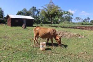 The Water Project: Lukala West Community, Luka Spring -  A Cow Grazing Within The Compound