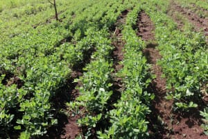 The Water Project: Lukala West Community, Luka Spring -  Groundnuts Growing At The Farm