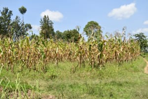 The Water Project: Litinye Community, Vuyanzi Spring -  Maize Farm