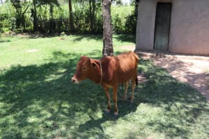 The Water Project: Luyeshe Community, Khausi Spring -  A Cow Grazing At Home
