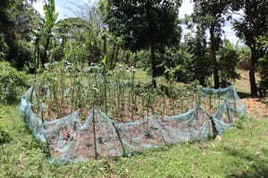 The Water Project: Luyeshe Community, Khausi Spring -  Kitchen Garden Full Of Kale