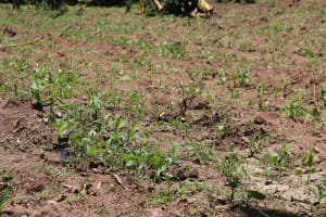 The Water Project: Luyeshe Community, Khausi Spring -  Young Maize Stalks In The Farm