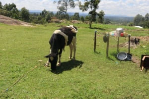 The Water Project: Kalenda A Community, Sanya Spring -  Cow Grazing Next To Dishrack