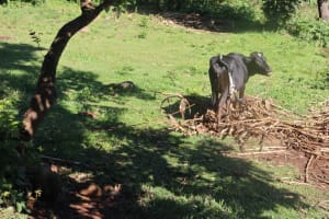 The Water Project: Lukala West Community, Angatia Spring -  A Cow Grazing