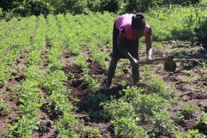 The Water Project: Lukala West Community, Angatia Spring -  A Woman Weeding Out Her Groundnuts