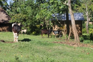 The Water Project: Lukala West Community, Angatia Spring -  Aminals Grazing