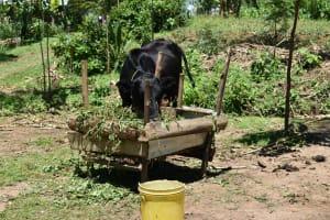 The Water Project: Shikokhwe Community, Mulika Spring -  Animal Feeding