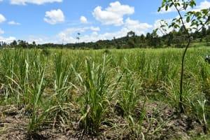 The Water Project: Shikokhwe Community, Mulika Spring -  Sugarcane Farm