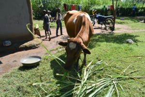 The Water Project: Malekha West Community, Soita Spring -  Cow Grazing
