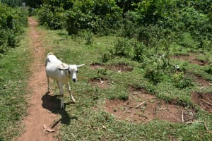 The Water Project: Bukhaywa Community, Violet Inganji Spring -  A Goat Grazing