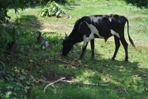 The Water Project: Bukhaywa Community, Violet Inganji Spring -  Livestock Grazing