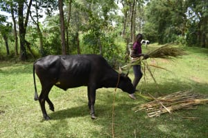 The Water Project: Luyeshe North Community, Reuben Endeche Spring -  Feeding Cattle