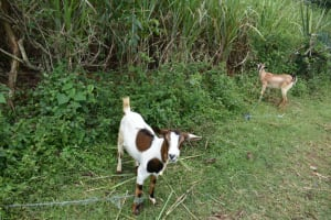 The Water Project: Luyeshe North Community, Reuben Endeche Spring -  Goats Feeding