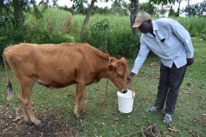 The Water Project: Luyeshe North Community, Reuben Endeche Spring -  Reuben Giving His Cow Water
