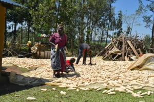 The Water Project: Shianda Community, Govet Lumbasi Spring -  Airing Maize Out To Dry