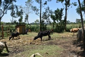 The Water Project: Shianda Community, Govet Lumbasi Spring -  Cows Grazing And A Latrine In The Distance
