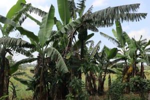The Water Project: Makhwabuyu Community, Shirandula Spring -  Banana Plantation