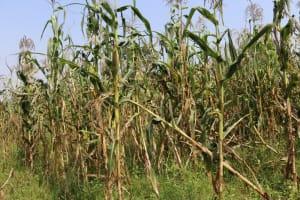 The Water Project: Makhwabuyu Community, Shirandula Spring -  Maize Plataion