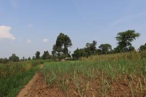 The Water Project: Makhwabuyu Community, Shirandula Spring -  Sugarcane Farms