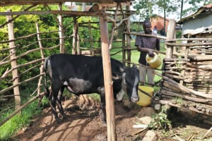 The Water Project: Bukhunyilu Community, Solomon Wangula Spring -  Pouring Drinking Water For His Cattle