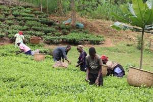 The Water Project: Shamakhokho Community, Wizula Spring -  Community Picking Tea