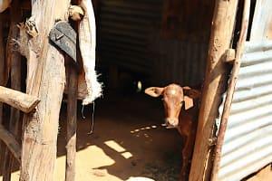 The Water Project: Shisasari Itumbu Community, Mathias Juma Spring -  Animal Pen