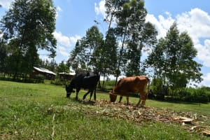 The Water Project: Shisasari Itumbu Community, Mathias Juma Spring -  Animals Grazing