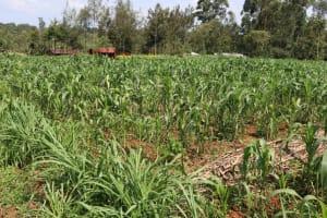 The Water Project: Shisasari Itumbu Community, Mathias Juma Spring -  Maize Farm