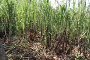 The Water Project: Shisasari Itumbu Community, Mathias Juma Spring -  Sugarcane Farm