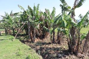 The Water Project: Malimali Community, Onyango Spring -  Banana Plantation