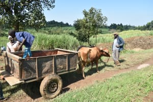 The Water Project: Shitavita Community, Patrick Burudi Spring -  Offloading Bricks In An Ox Cart