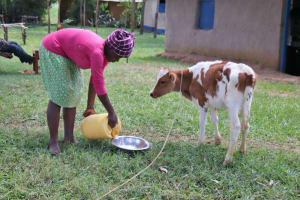 The Water Project: Luyeshe Community, Matolo Spring -  Feeding The Calf Drinking Water