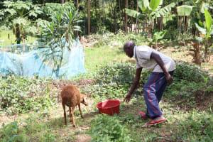 The Water Project: Futsi Fuvili Community, Simeon Shimaka Spring -  Feeding His Sheep Water