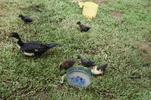 The Water Project: Mundoli Community, Pamela Atieno Spring -  A Duck Leading Her Young Ones To Search For Food