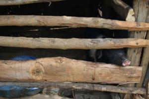 The Water Project: Mundoli Community, Pamela Atieno Spring -  Pig Sty