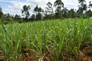 The Water Project: Mundoli Community, Pamela Atieno Spring -  Sugarcane Farm