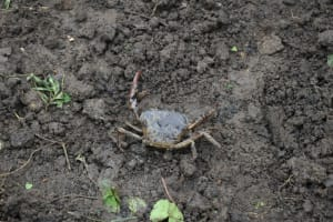The Water Project: Silungai B Community, Tali Saya Spring -  Crab Living In Spring Found During Excavation