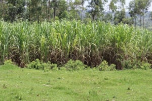 The Water Project: Mukoko Community, Zebedayo Mutsotsi Spring -  Sugarcane Plantation