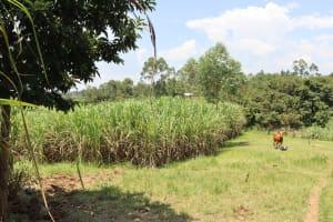The Water Project: Shivagala Community, Alois Chiedo Spring -  Sugarcane Plantation