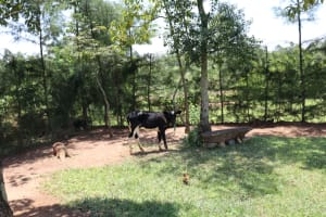 The Water Project: Shivagala Community, Alois Chiedo Spring -  Calf Grazing
